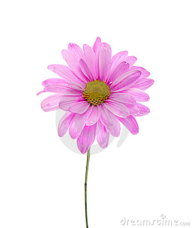 Single Pink Shasta Daisy