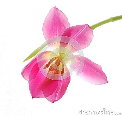 Single pink tulip