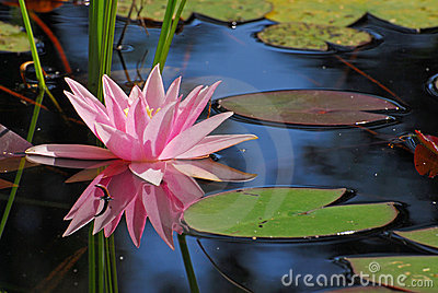 Single pink water-lily with its reflection