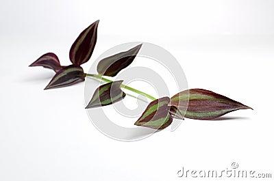 single wandering jew stem purple leaves on white b