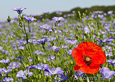 Single poppy in a field of blue linseed flowers