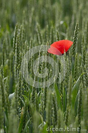 Free Single Poppy In A Field Of Wheat Royalty Free Stock Photography - 103421507