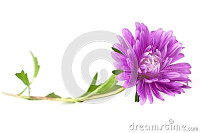 Single purple aster