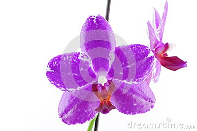 Single purple orchid with white pattern