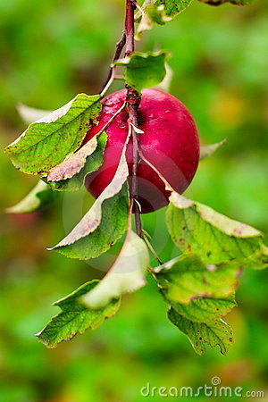 Single red apple, intense colourful background