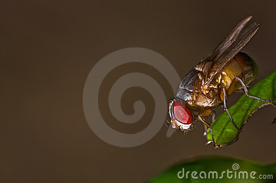 Single red eyed fly on a leaf
