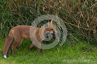 Single Red Fox (Vulpes vulpes Canidae)
