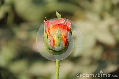 Single Red & Orange Rose