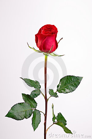 Free Single Red Rose Royalty Free Stock Photo - 13136405