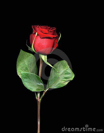 Free Single Red Rose Royalty Free Stock Images - 20646489