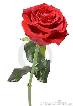 Free Single Red Rose Royalty Free Stock Photos - 6631628