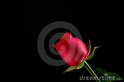 Single Red Rose on Black Background