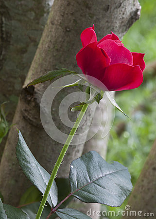 Single Red Rose in Deep Depth of Field