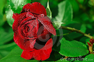 Single red rose pearled with dew
