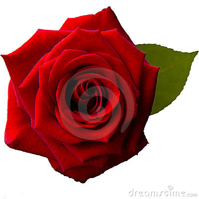 Single red rose in a square