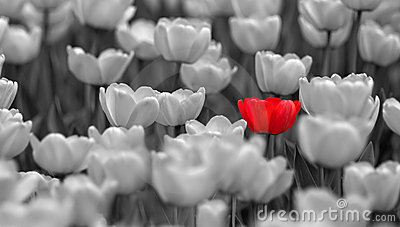 Single red tulip in field colorless