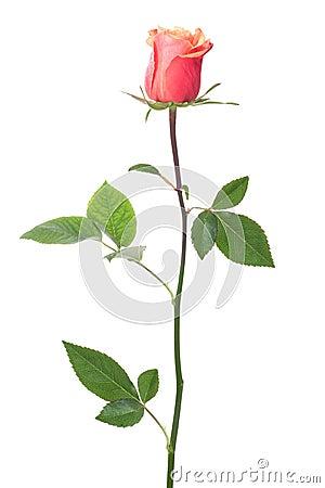 Free Single Rose Royalty Free Stock Image - 21656136