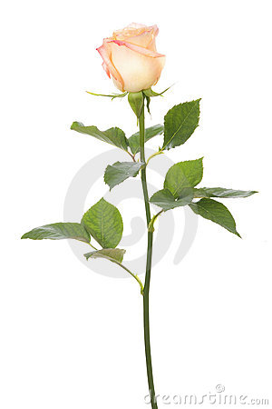 Free Single Rose Royalty Free Stock Photo - 21886275