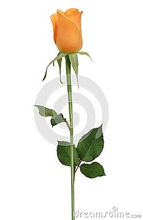 Free Single Rose Stock Image - 755731