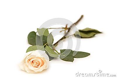 Single rose isolated on the white background