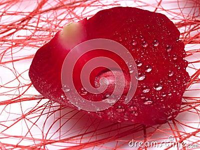 Single rose petal