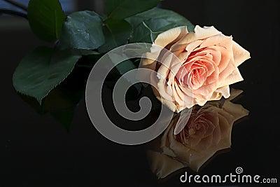 Single rose reflected