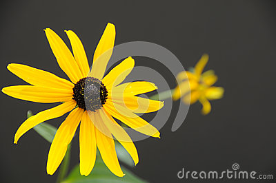 Single Rudbeckia flower