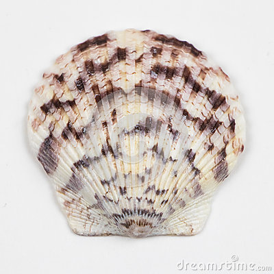 Free Single Seashell Isolated On White Stock Photography - 88338142