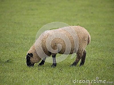 Single Sheep
