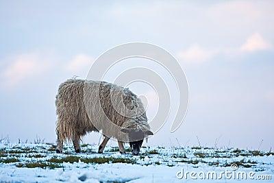 Single sheep grazing on a snowy hillside