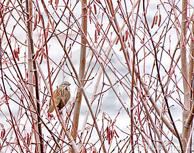 Single Song Sparrow in Trees