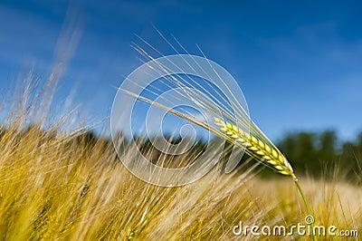 Single Stalk Of Wheat Stock Photo - Image: 41763885
