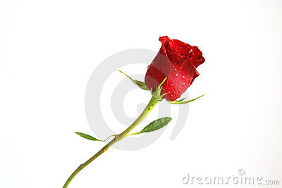 A single stemmed red rose
