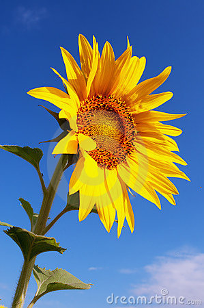 single sunflower photography, Beautiful flower
