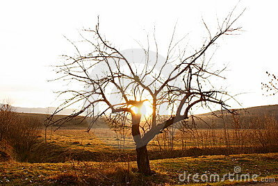 Single tree in desert in sunset time