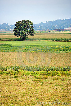 Single tree in a field of corn