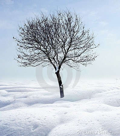 Single tree in frost