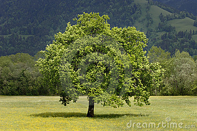 Single tree in meadow at springtime