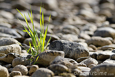 Single tuft of grass in stone desert