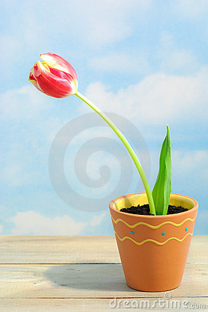 Single Tulip In Pot