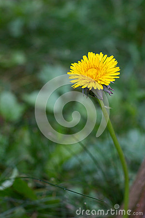 Single tussilago flower