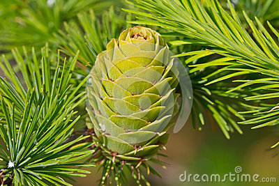 Single verdant larch cone closeup
