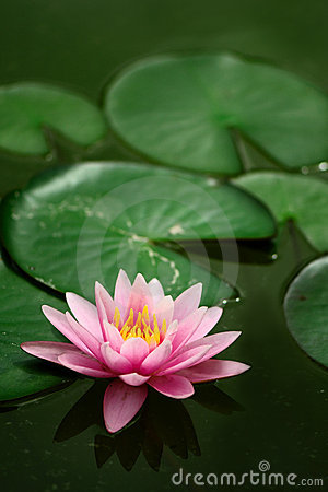 Single Waterlily.