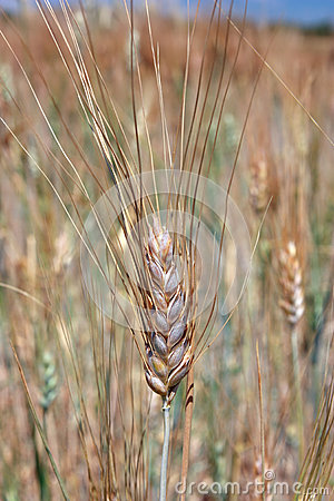 Single wheat