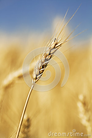 Single wheat stem
