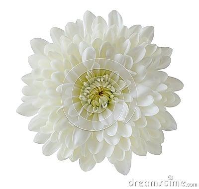 Free Single White Chrysanthemum Stock Images - 13251194