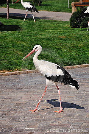 Single white storks