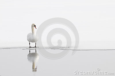 Single Winter Swan