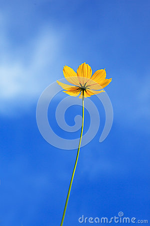 Single yellow flower with clear blue sky background