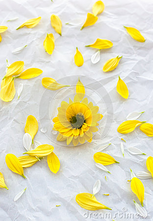 Free Single Yellow Flower On White Paper Background With Petals Aroun Royalty Free Stock Image - 31570806